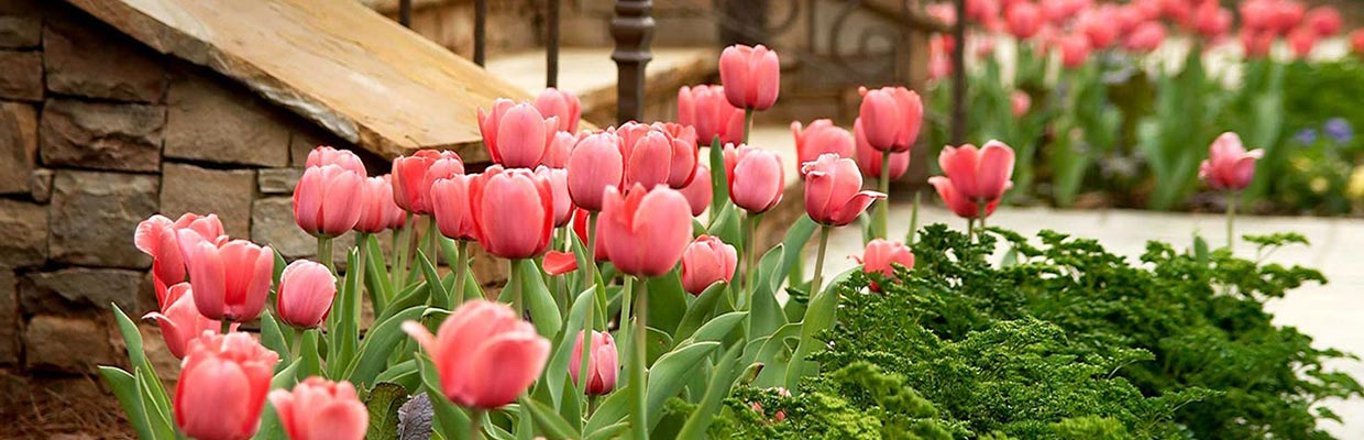 english-country-tulips