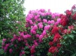 Georgia Rhododendrons